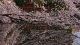 【Shizuoka Sakura Map 24】 Mishima Taisha Shrine With Colorful Sakura Trees